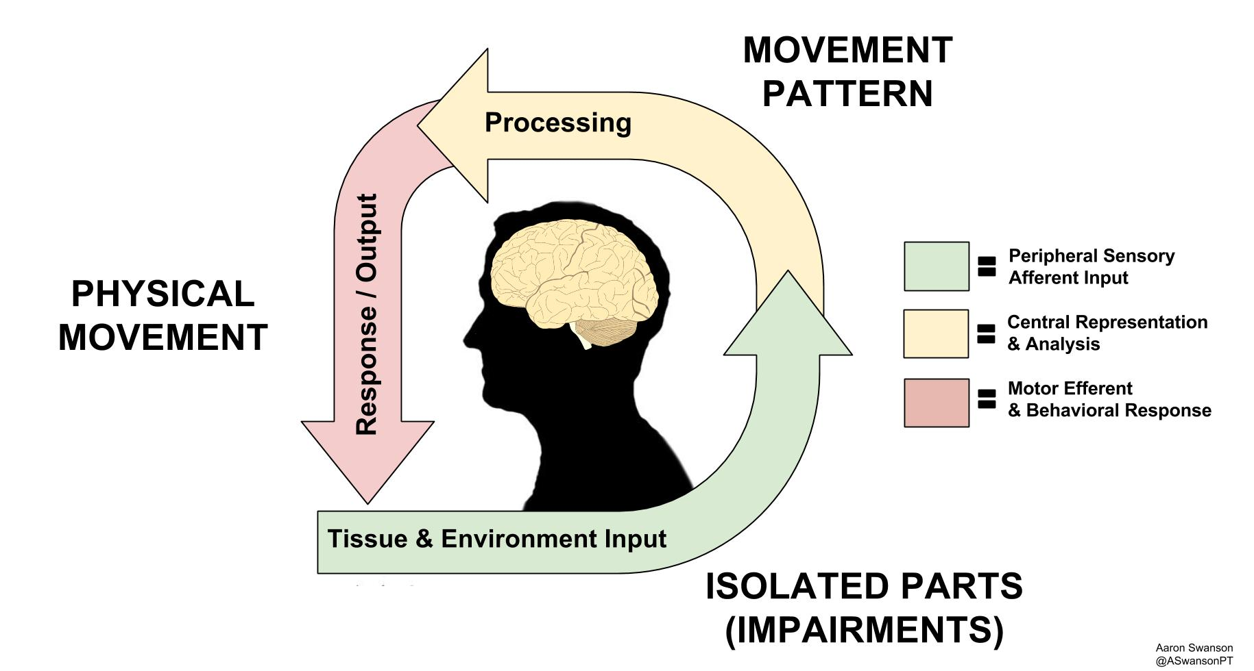 Based off of Louis Giffords Mature Organsim Model - How Movement Goes From Inputs to Outputs Via the CNS