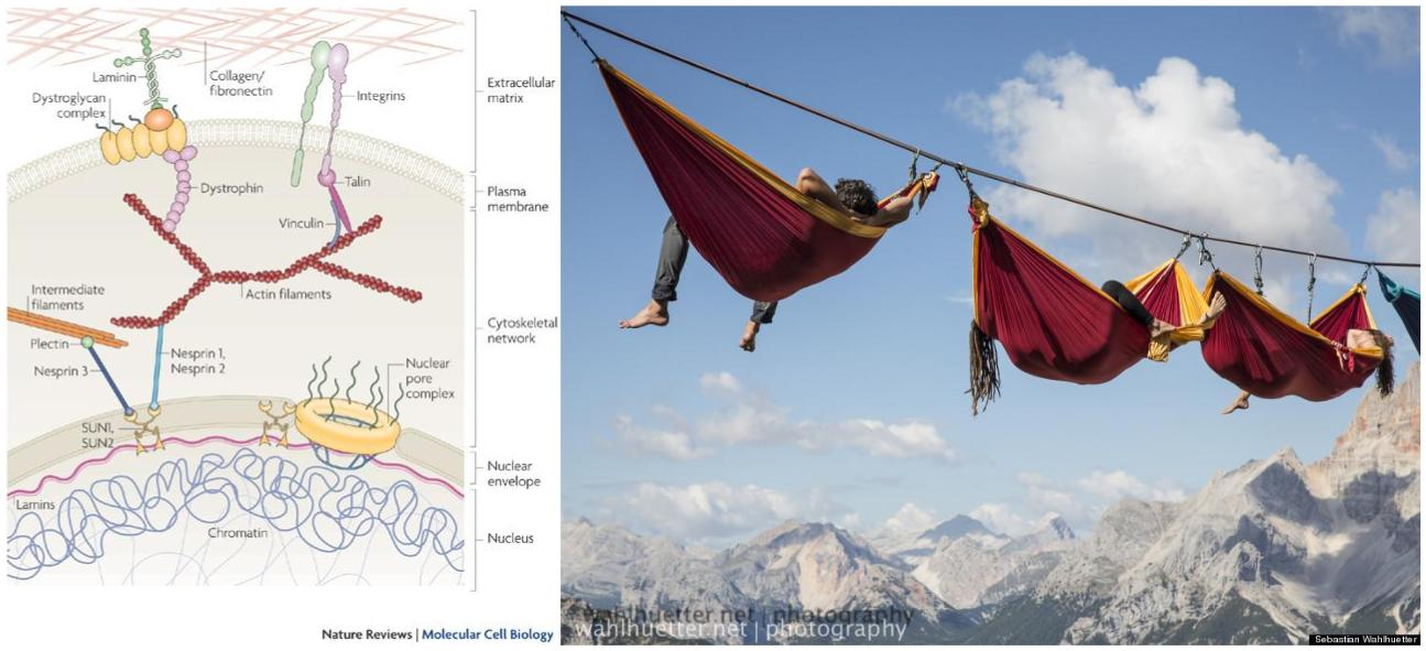 The line is the collagen, the carabiners are the integrins, the hammocks are the cells, the person is the nucleus. Any applied force on the line will be felt by each person attached to the same line (regardless the distance from the force).