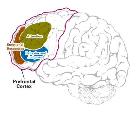 Major functions of the Prefrontal Cortex
